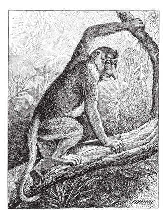 arboreal: Kahau or proboscis monkey (Nasalis larvatus) or long-nosed monkey or bekantan,  vintage engraved illustration. Dictionary of words and things - Larive and Fleury - 1895.