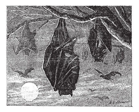 wingspan: Kalong or Large Flying Fox (Pteropus vampyrus) or Greater Flying Fox or Malaysian Flying Fox or Kalang, vintage engraved illustration. Dictionary of words and things - Larive and Fleury - 1895.