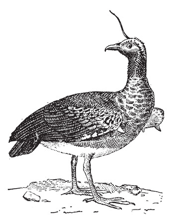 Kamichi or Horned Screamer (Anhima cornuta), vintage engraved illustration. Dictionary of words and things - Larive and Fleury - 1895.