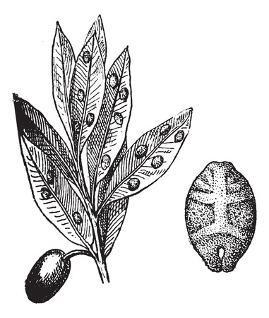 quercus: Kermes with olive, vintage engraved illustration. Dictionary of words and things - Larive and Fleury - 1895.