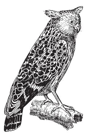 owl illustration: Bubo ketupu or Buffy fish owl, vintage engraved illustration. Dictionary of words and things - Larive and Fleury - 1895. Illustration