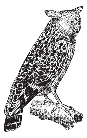 Bubo ketupu or Buffy fish owl, vintage engraved illustration. Dictionary of words and things - Larive and Fleury - 1895. Çizim