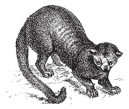 Kinkajou (Potos flavus) or honey bear, vintage engraved illustration. Dictionary of words and things - Larive and Fleury - 1895. Vector