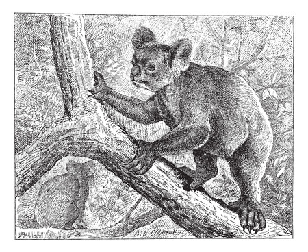 arboreal: Koala,  vintage engraved illustration. Dictionary of words and things - Larive and Fleury - 1895. Illustration