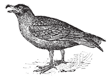 seabird: Skuas, vintage engraved illustration. Dictionary of words and things - Larive and Fleury - 1895.