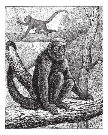 woolly: Humboldts Woolly Monkey or common woolly monkey or brown woolly monkey, vintage engraved illustration. Dictionary of words and things - Larive and Fleury - 1895.