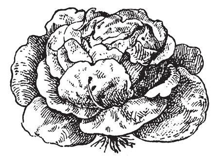 lechuga: Lechugas (Lactuca sativa), a�ada una ilustraci�n grabada. Diccionario de palabras y las cosas - Larive y Fleury - 1895.