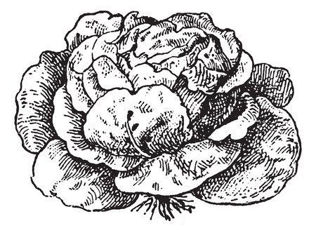 Lettuce (Lactuca sativa), vintage engraved illustration. Dictionary of words and things - Larive and Fleury - 1895.