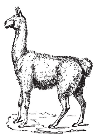 llama: Lama, vintage engraved illustration. Dictionary of words and things - Larive and Fleury - 1895.