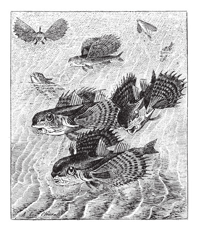 flying fish: Flying gurnard or Dactylopterus volitans, vintage engraved illustration. Dictionary of words and things - Larive and Fleury - 1895. Illustration