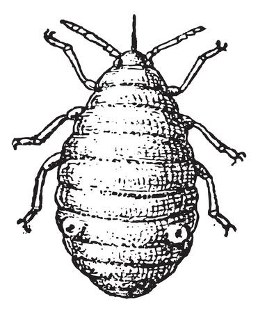 piojos: Pulg�n o planta piojos o pulgones o moscas negras o moscas blancas, cosecha ilustraci�n grabada. Diccionario de palabras y las cosas - Larive y Fleury - 1895.