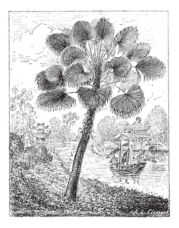 ornamental horticulture: Red Latan Palm or Latania lontaroides, vintage engraved illustration. Dictionary of Words and Things - Larive and Fleury - 1895 Illustration