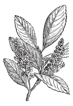 herbology: Sour Cherry or Prunus cerasus, vintage engraved illustration. Dictionary of Words and Things - Larive and Fleury - 1895 Illustration