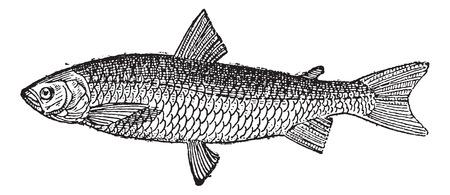 欧州白身魚や Coregonus lavaretus、ヴィンテージには、図が刻まれています。辞書単語や Larive のことやフルーリ - 1895