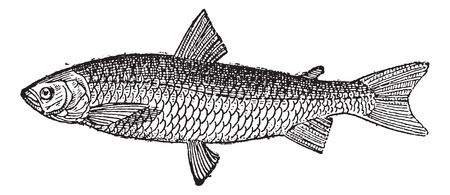 European Whitefish or Coregonus lavaretus, vintage engraved illustration. Dictionary of Words and Things - Larive and Fleury - 1895