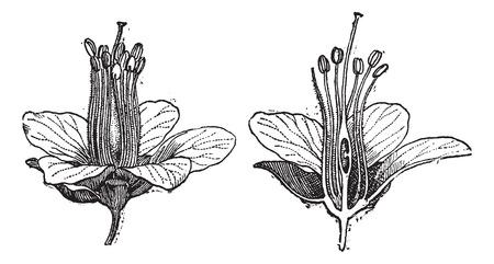 Logwood of Haematoxylum campechianum, toont bloem en bloem doorsnede, vintage gegraveerde illustratie. Woordenboek van woorden en dingen - Larive en Fleury - 1895 Vector Illustratie