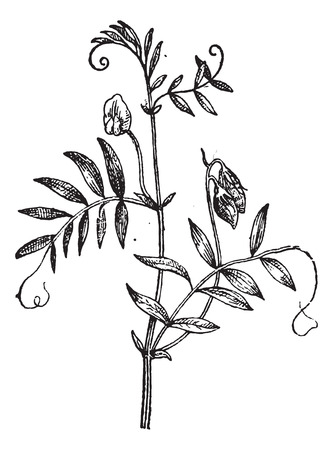 Lentil or Lens culinaris, vintage engraved illustration. Dictionary of Words and Things - Larive and Fleury - 1895