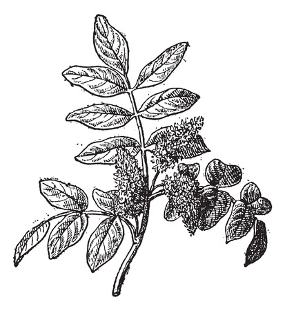 dioecious: Mastic or Pistacia lentiscus, vintage engraved illustration. Dictionary of Words and Things - Larive and Fleury - 1895