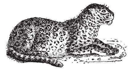 panthera: Leopard o Panthera pardus, vintage illustrazione inciso. Dizionario di parole e cose - Larive e Fleury - 1895