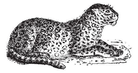threatened: Leopard or Panthera pardus, vintage engraved illustration. Dictionary of Words and Things - Larive and Fleury - 1895