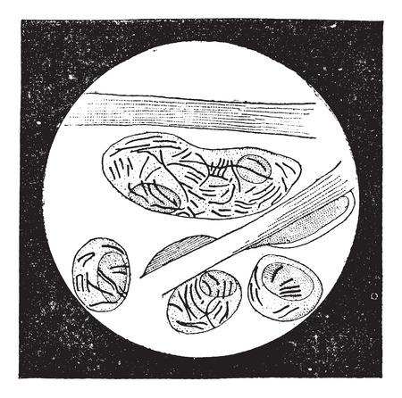 Mycobacterium leprae, vintage gegraveerde illustratie. Woordenboek van woorden en dingen - Larive en Fleury - 1895 Stock Illustratie