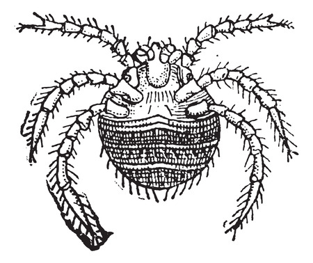 itching: Harvest Mite or Trombicula autumnalis, vintage engraved illustration. Dictionary of Words and Things - Larive and Fleury - 1895