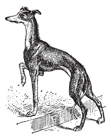 k9: Greyhound, showing female dog, vintage engraved illustration. Dictionary of Words and Things - Larive and Fleury - 1895 Illustration