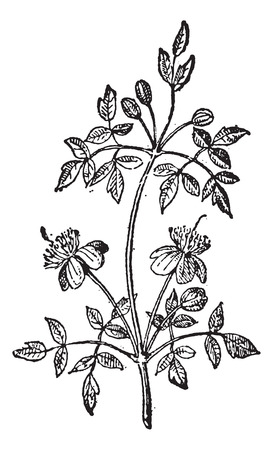 temperate: Liana, vintage engraved illustration. Dictionary of Words and Things - Larive and Fleury - 1895