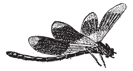 anisoptera: Dragonfly, vintage engraved illustration. Dictionary of Words and Things - Larive and Fleury - 1895