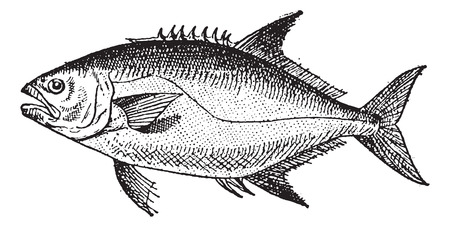ichthyology: Leerfishor Lichia amia, vintage engraved illustration. Dictionary of Words and Things - Larive and Fleury - 1895