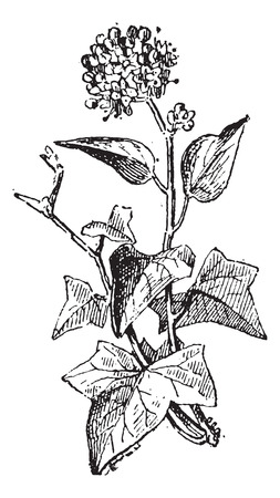 invasive: Ivy or Hedera sp., vintage engraved illustration. Dictionary of Words and Things - Larive and Fleury - 1895