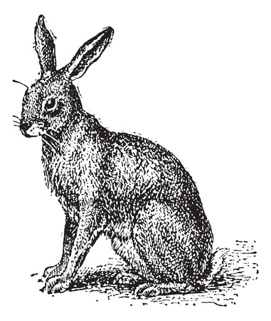 terrestrial mammal: Hare or Lepus sp., vintage engraved illustration. Dictionary of Words and Things - Larive and Fleury - 1895