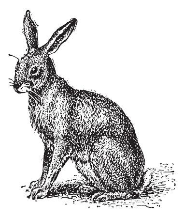 Hare ou Lepus sp., Illustration vintage gravé. Dictionnaire des mots et des choses - Larive et Fleury - 1895