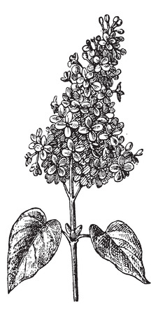 Lilac or Syringa sp., vintage engraved illustration. Dictionary of Words and Things - Larive and Fleury - 1895 Ilustração