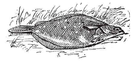 flounder: Flounder or Limanda sp., vintage engraved illustration. Dictionary of Words and Things - Larive and Fleury - 1895 Illustration
