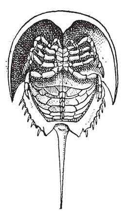 Horseshoe Crab or Limulidae, vintage engraved illustration. Dictionary of Words and Things - Larive and Fleury - 1895 Stock fotó - 35357800