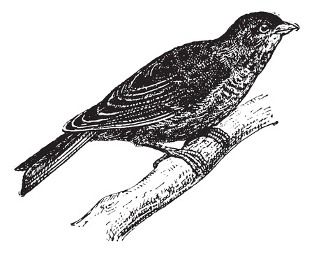 omnivore: Linnet or Carduelis cannabina, vintage engraved illustration. Dictionary of Words and Things - Larive and Fleury - 1895 Illustration