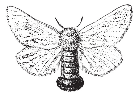 Gypsy Moth or Lymantria dispar, vintage engraved illustration. Dictionary of Words and Things - Larive and Fleury - 1895