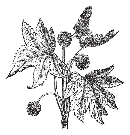 Oriental Sweetgum or Liquidambar orientalis, vintage engraved illustration. Dictionary of Words and Things - Larive and Fleury - 1895 Illustration