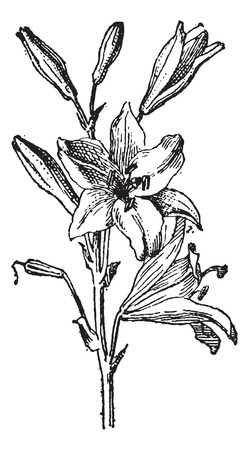 herbology: Lily or Lilium sp., vintage engraved illustration. Dictionary of Words and Things - Larive and Fleury - 1895