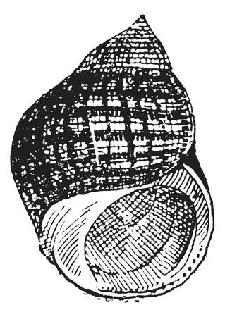 Periwinkle or Littorina sp., vintage engraved illustration. Dictionary of Words and Things - Larive and Fleury - 1895