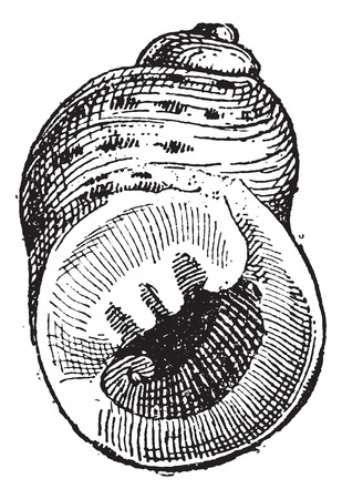 exoskeleton: Periwinkle or Littorina sp., vintage engraved illustration. Dictionary of Words and Things - Larive and Fleury - 1895