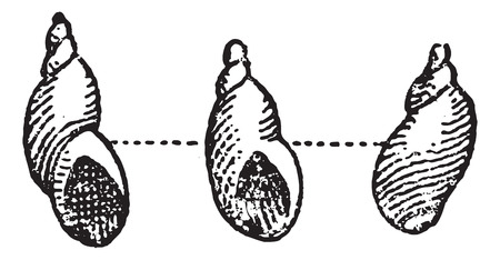 Amber Snail or Succinea sp., vintage engraved illustration. Dictionary of Words and Things - Larive and Fleury - 1895
