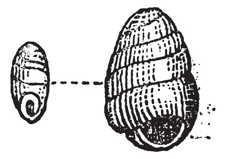 mollusca: Pupilla muscorum, vintage engraved illustration. Dictionary of Words and Things - Larive and Fleury - 1895