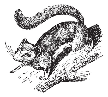 dormouse: Dormouse or Glis glis, vintage engraved illustration. Dictionary of Words and Things - Larive and Fleury - 1895