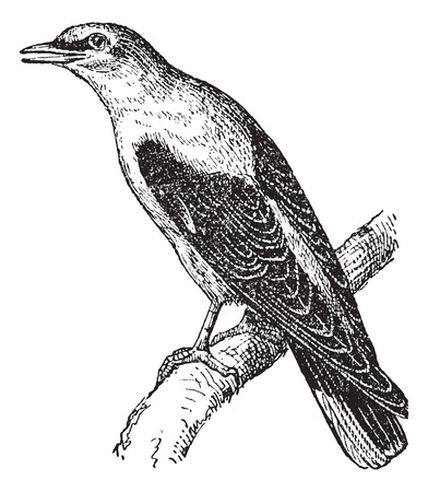 Golden Oriole or Oriolus oriolus, vintage engraved illustration. Dictionary of Words and Things - Larive and Fleury - 1895