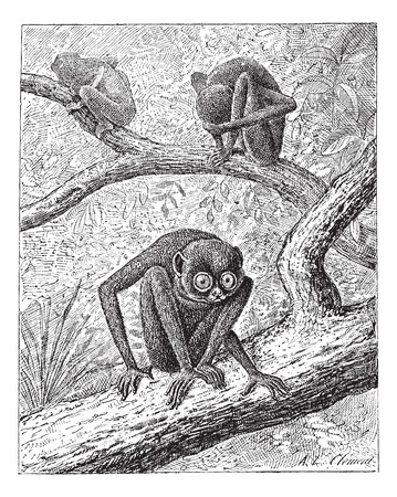 arboreal: Red Slender Loris or Loris tardigradus, vintage engraved illustration. Dictionary of Words and Things - Larive and Fleury - 1895