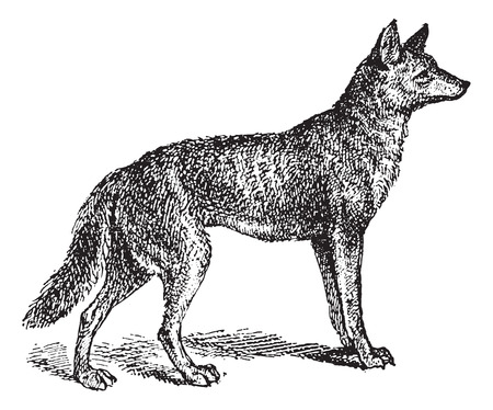 terrestrial mammal: Gray Wolf or Canis lupus, vintage engraved illustration. Dictionary of Words and Things - Larive and Fleury - 1895