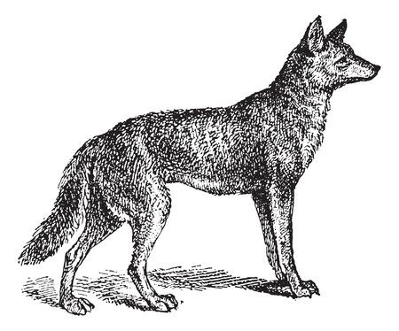 Grijze Wolf of Canis lupus, vintage gegraveerde illustratie. Woordenboek van woorden en dingen - Larive en Fleury - 1895 Stock Illustratie