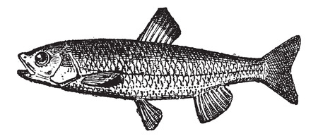 Trout, vintage engraved illustration. Dictionary of Words and Things - Larive and Fleury - 1895 Çizim